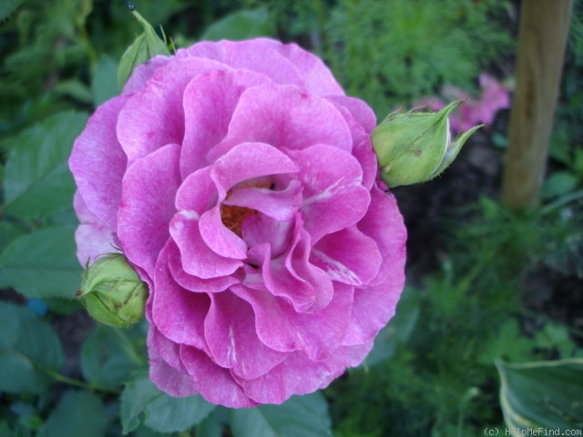 'Mélodie Parfumée ™' rose photo