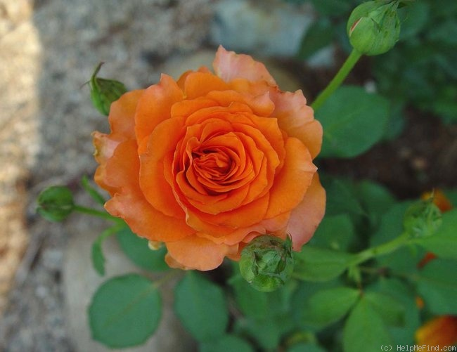 'Gingersnap' rose photo