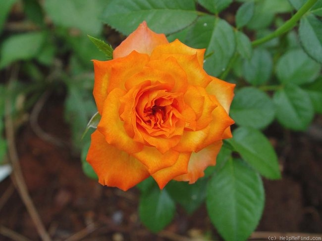 'Winning Colors ™' rose photo