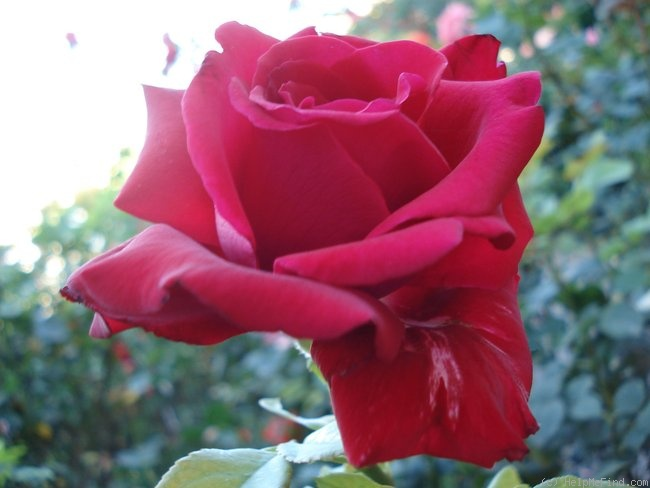 'Royal William' rose photo