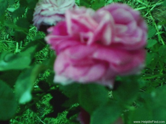 'Old Cabbage Rose' rose photo