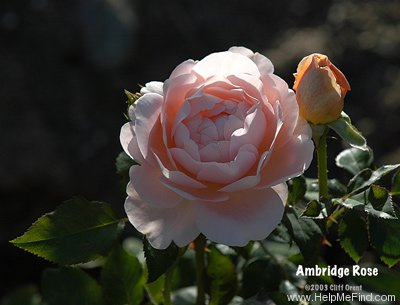 'Ambridge Rose ®' rose photo