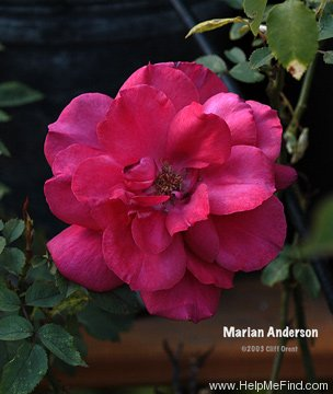 'Marian Anderson' rose photo