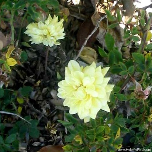 'Gold Coin' rose photo