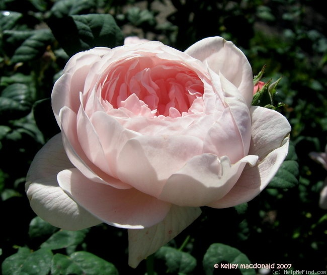 'The Generous Gardener' rose photo