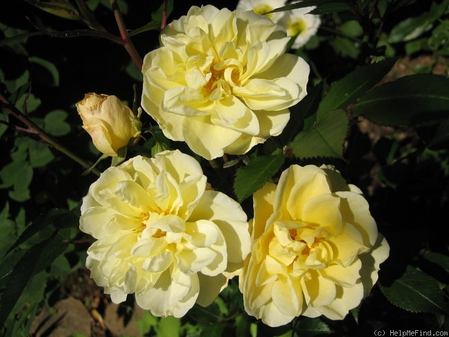 'Yellow Cover' rose photo