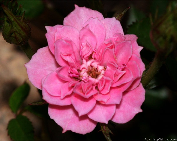 'Little Pinkie' rose photo