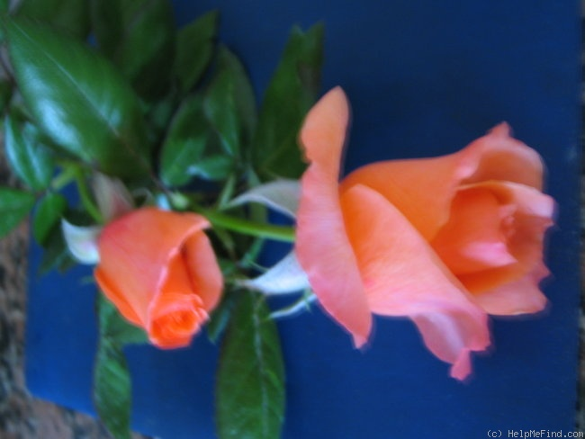 'Sunset Boulevard' rose photo