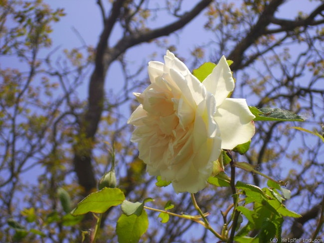 'Madame Alfred Carrière (Noisette, Schwartz, 1875)' rose photo