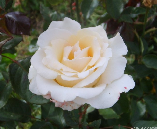 'Racy Lady' rose photo