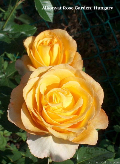 'Dutch Gold ®' rose photo