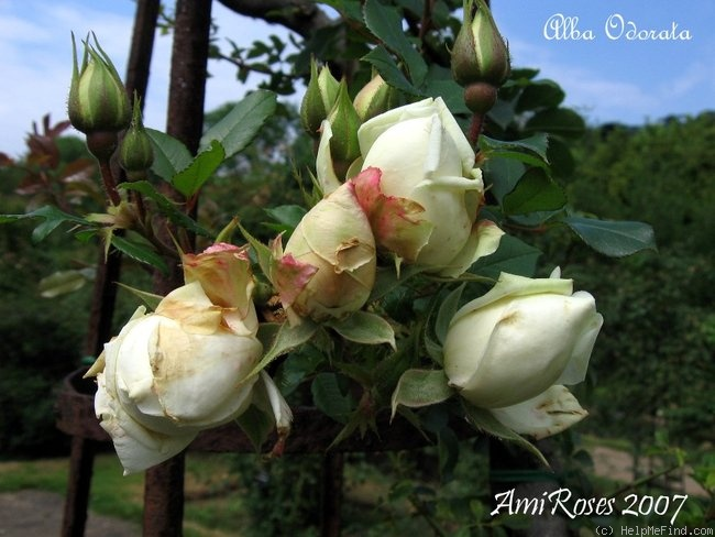 'Alba Odorata' rose photo