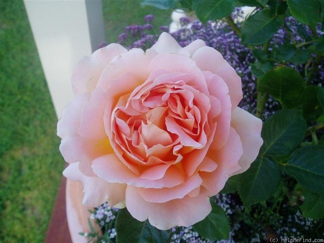 'Alpine Sunset ®' rose photo
