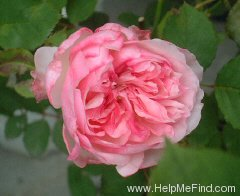 'Orsola Spinola ®' rose photo