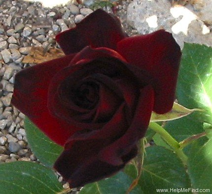 'Ink Spots' rose photo