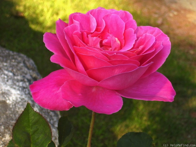 'Pink Peace' rose photo