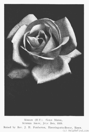 'Miriam (Hybrid Musk, Pemberton, 1919)' rose photo