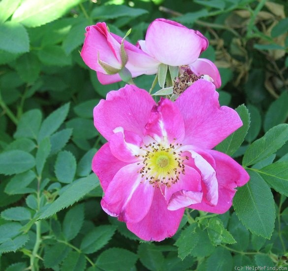 'William Baffin' rose photo