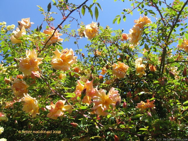 'Gold of Ophir' rose photo