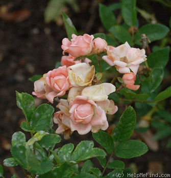 'Marytje Cazant' rose photo