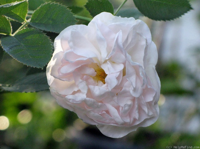 'Alba Maxima' rose photo