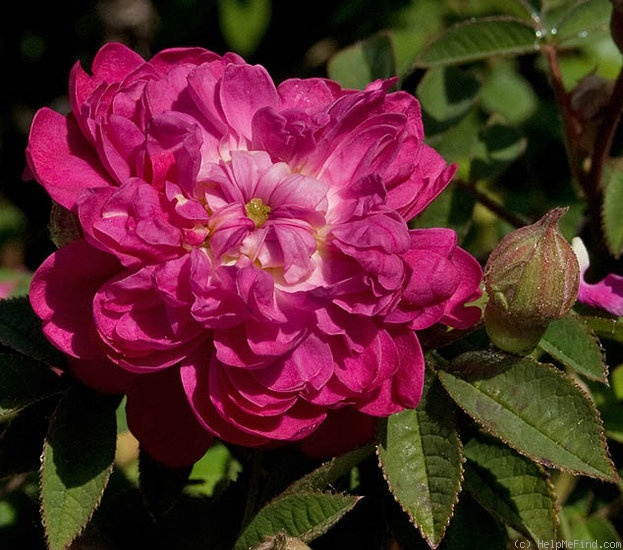 'Pompon de Bourgogne' rose photo