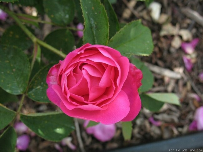 'Rose Edouard' rose photo