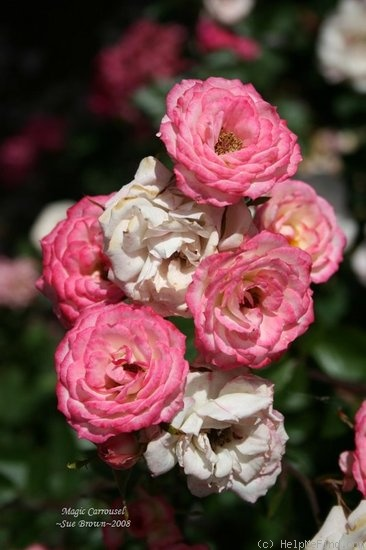'Magic Carrousel' rose photo