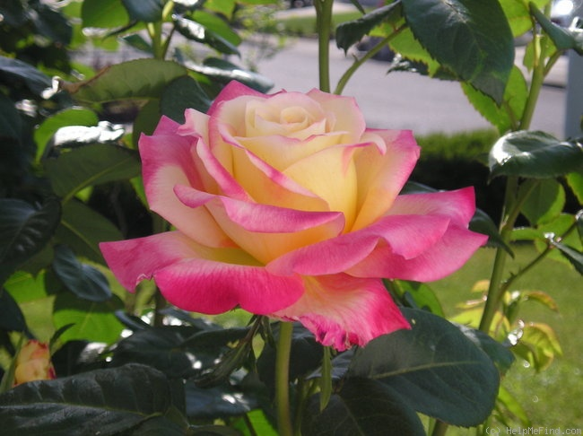 'Love & Peace ™ (hybrid tea, Twomey & Lim 2001)' rose photo