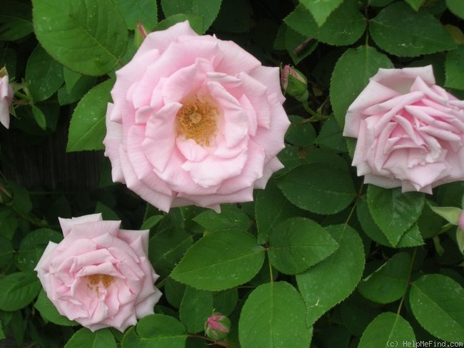 'Kathleen Harrop' rose photo