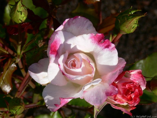 'Abigaile ®' rose photo