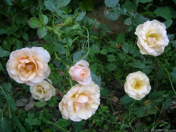 'Apricot Ice' rose photo
