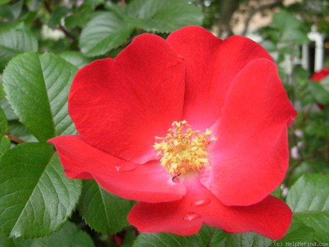 'Robusta (Rugosa, Kordes, 1979)' rose photo