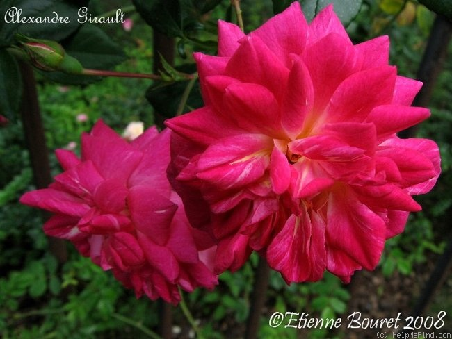 'Alexandre Girault' rose photo