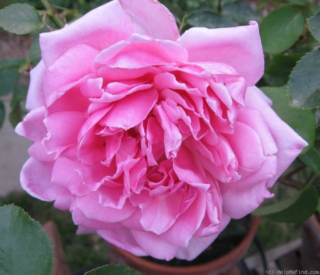 'Mrs. Fred Searl' rose photo