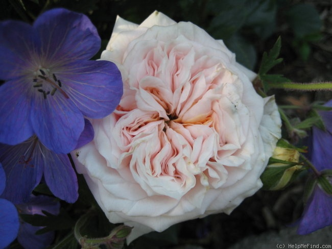 'October Moon' rose photo