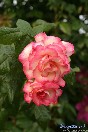 'Händel (Large Flowered Climber, McGredy, 1960)' rose photo