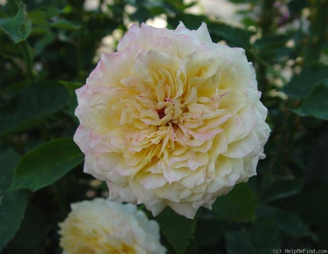 'Beryl Bach' rose photo