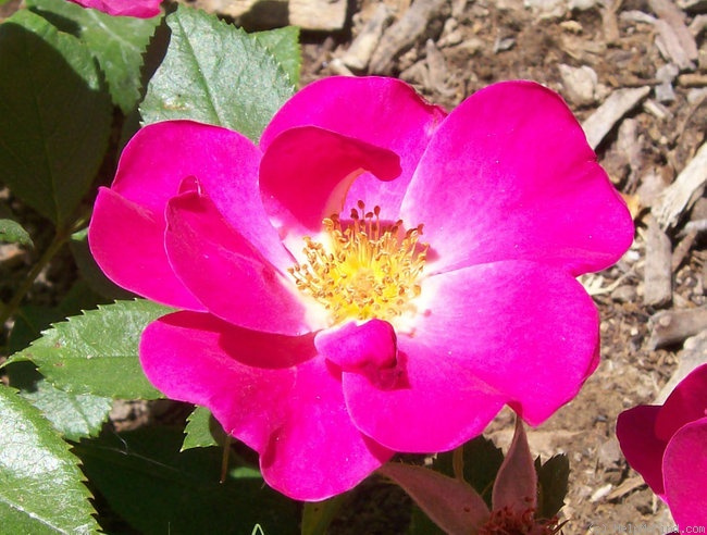 'Gina's Rose™ (Shrub, Moore, 2006)' rose photo