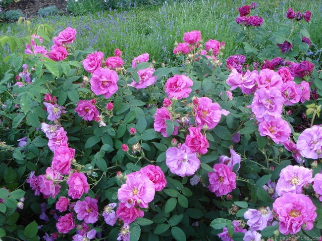 'Rosa gallica 'Officinalis'' rose photo