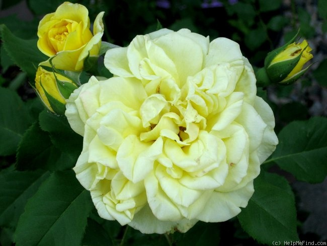 'Golden Fairy Tale ™' rose photo