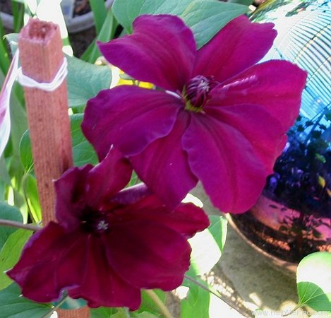 'Westerplatte' clematis photo