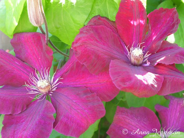 'Rouge Cardinal' clematis photo