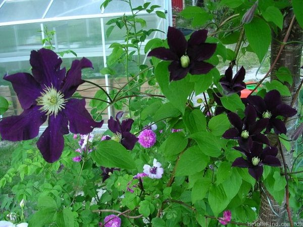 'Warsaw Nike' clematis photo