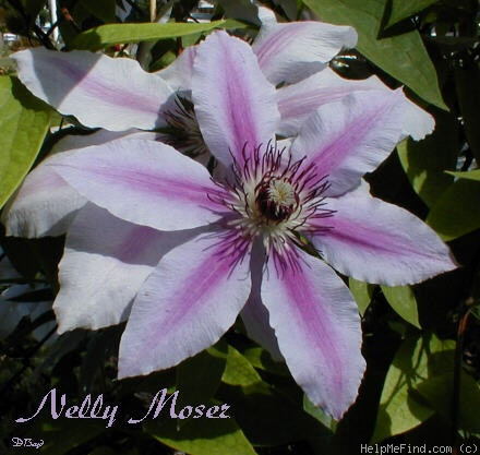 'Nelly Moser' clematis photo