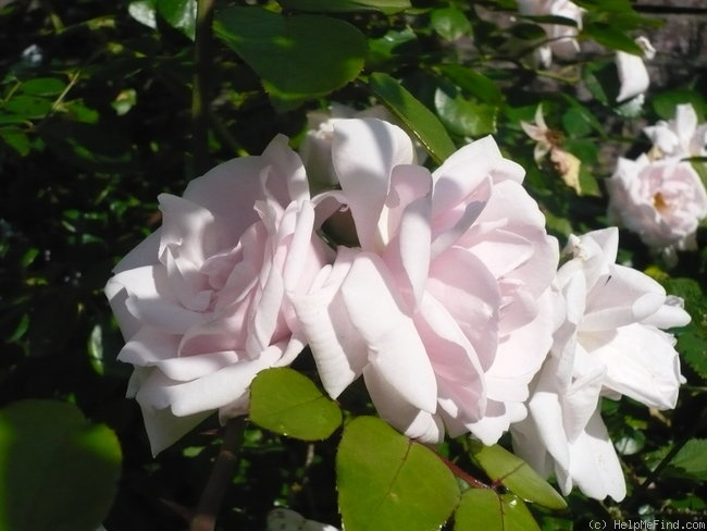 'New Dawn (Large Flowered Climber, Dreer, 1930)' rose photo