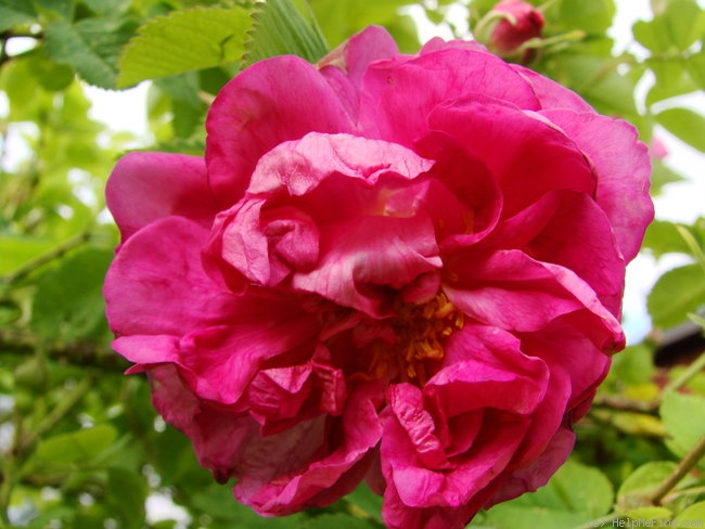 'R. gallica agatha' rose photo