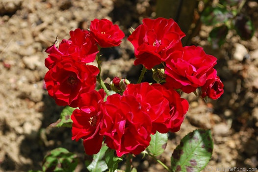 'Red Favorite' rose photo