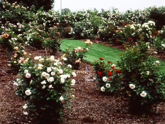 'Heirloom Roses, Inc. (USA)'  photo