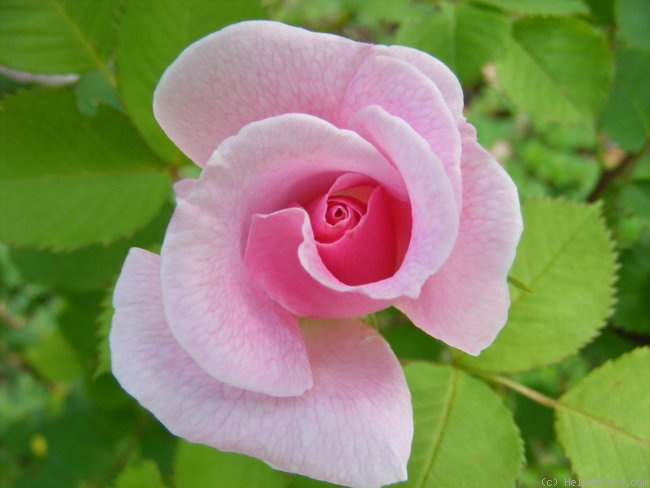 'Wanderin' Wind' rose photo